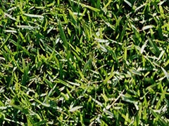 Why Choose JaMur Zoysia Grass