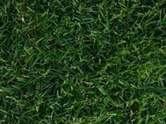 Tifway 419 Bermuda Sod Grass