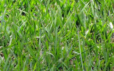 Why choose Argentine Bahia grass for your sod.