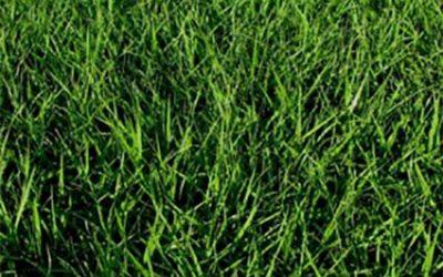 Why choose a Argentine Bahia grass?