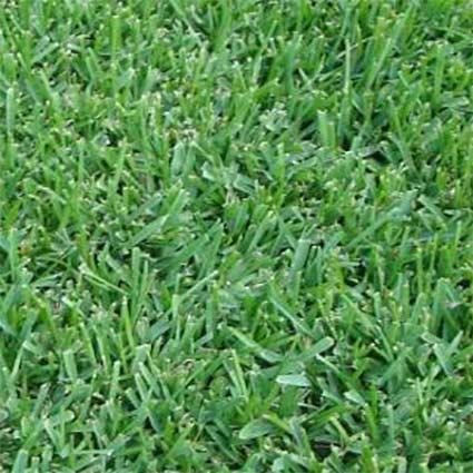 Why choose a Captiva Saint Augustine grass.
