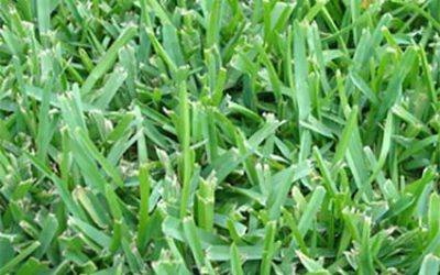 Why choose St. Augustine Floratam grass for your sod.