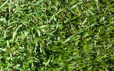 Why choose a St. Augustine Floratam grass.